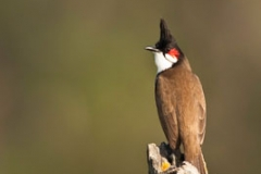 Red_whiskered Bulbul by stitching